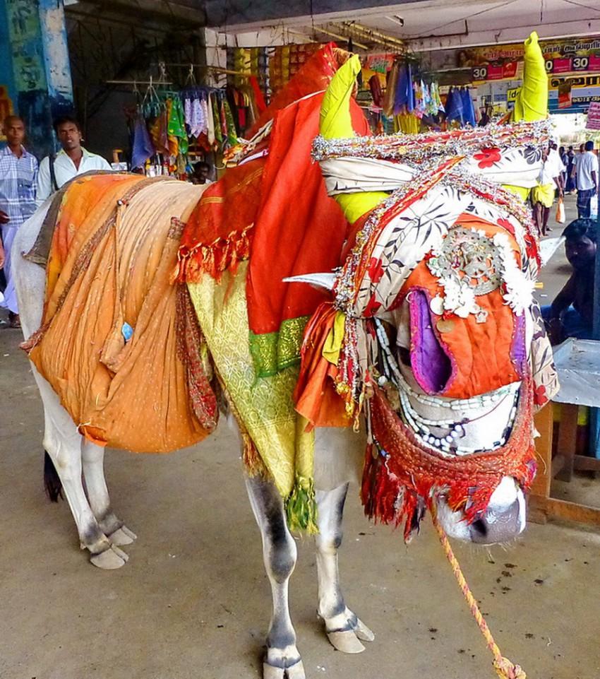 Коров в Индии наряжают к празднованию Нового Года