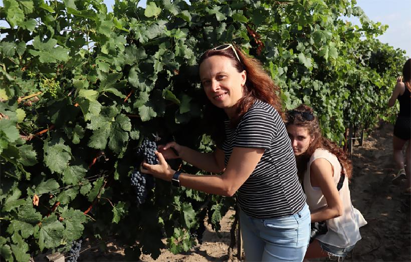 Винодельня Колонист. Сбор винограда