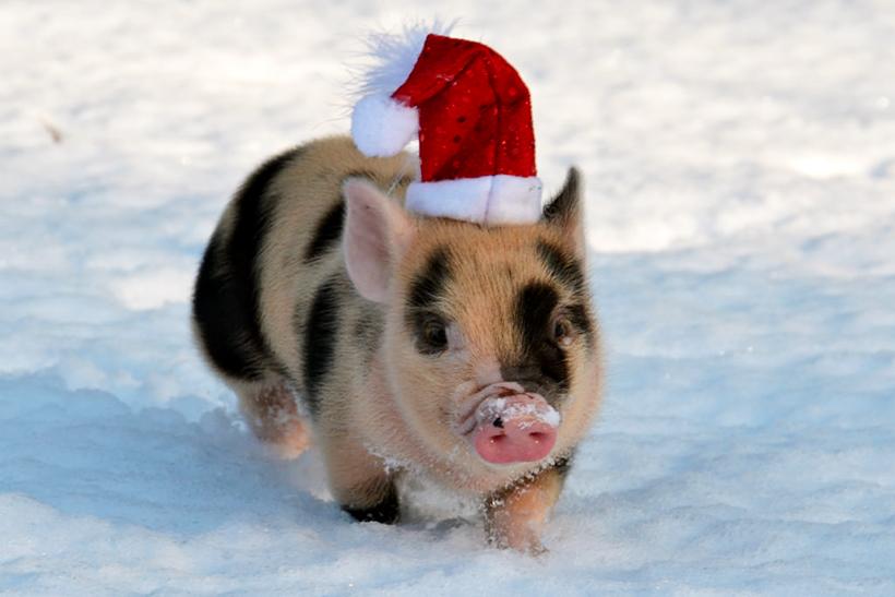 Новый год картинки прикольные свинья