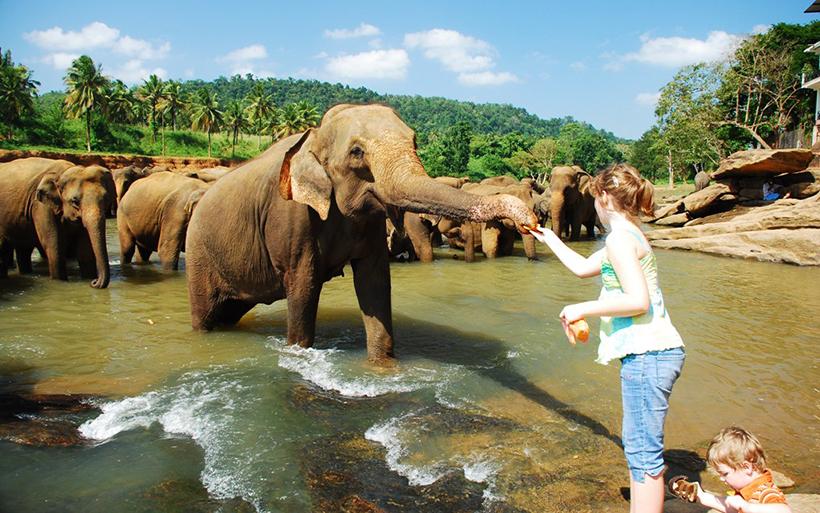 Кормление слонов на Шри-Ланке