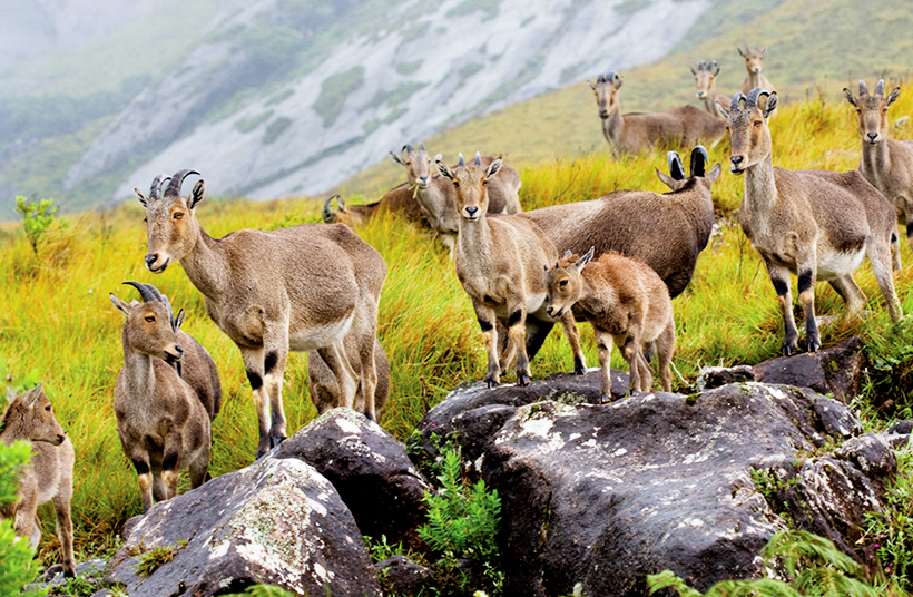 Горные козлы Nilgiri Tahr в Национальном парке Эравикулам