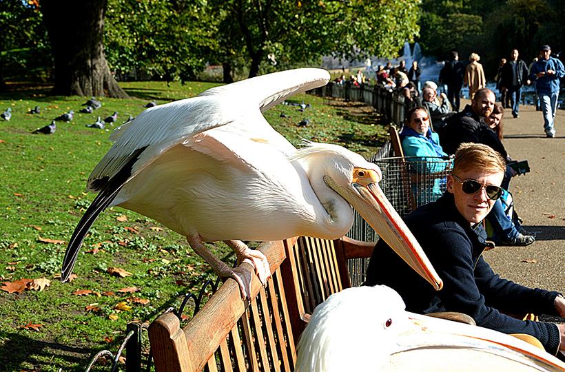 Пеликаны в парке Сент-Джеймс