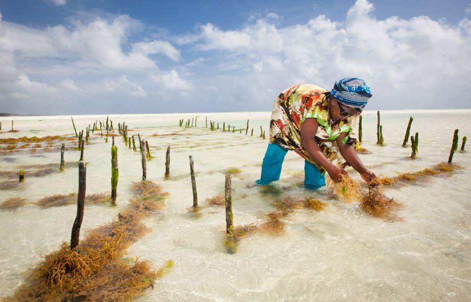 Ферма морской капусты на Занзибаре
