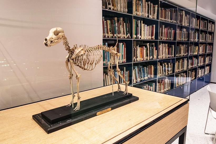 скелет фокстерьера в музее собак