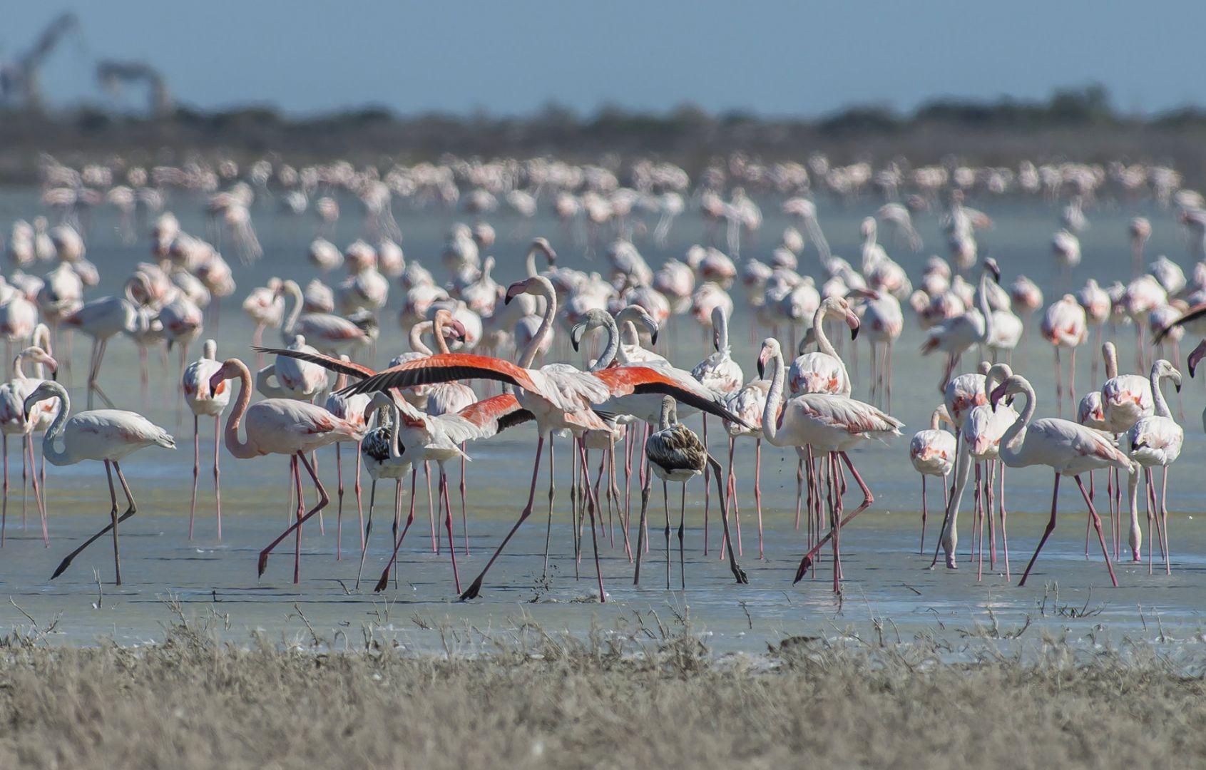 Фламинго на Кипре