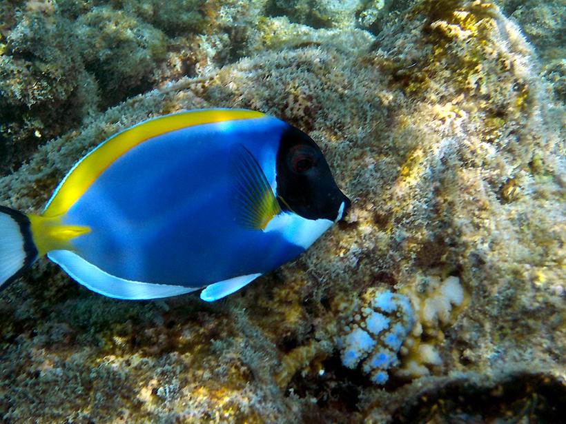 Рыбы-хирурги на Мальдивах