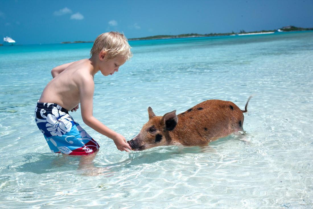 Пляж с дикими свиньями