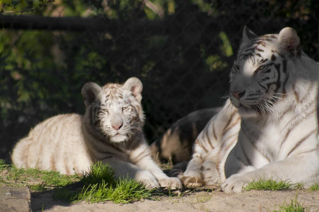 Белые тигры в зоопарке Лиссабона