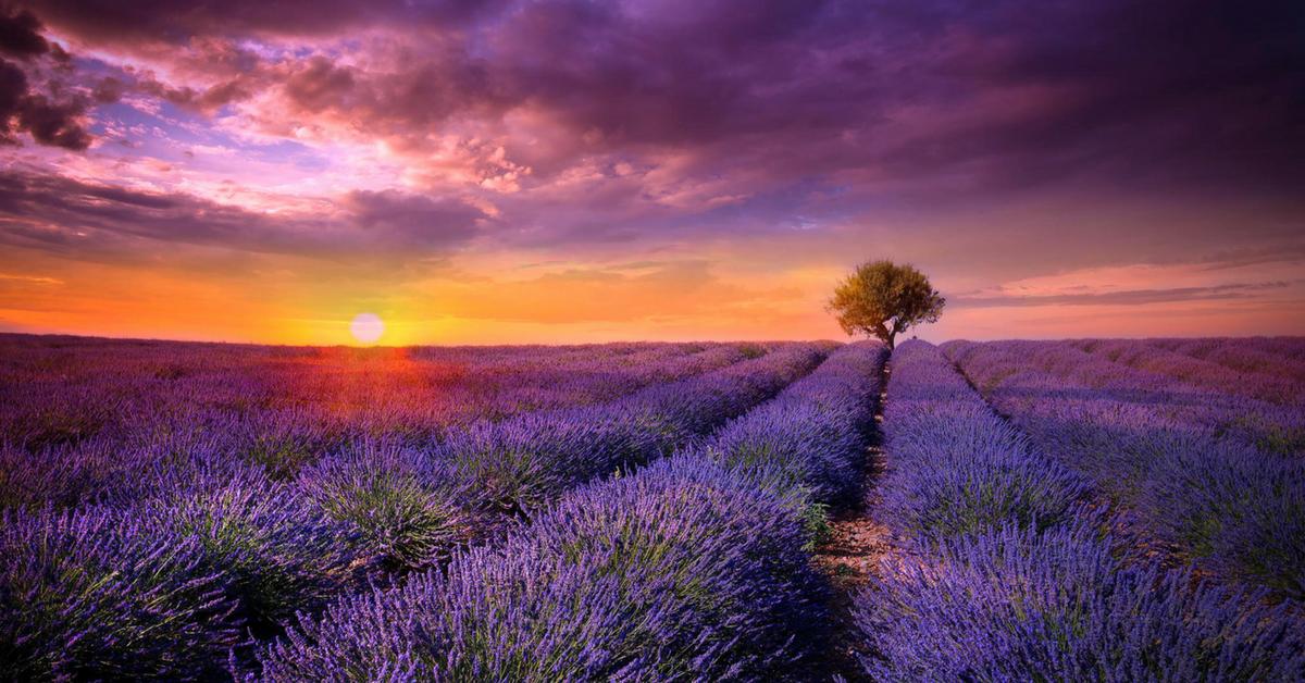 Лавандовое поле Прованс