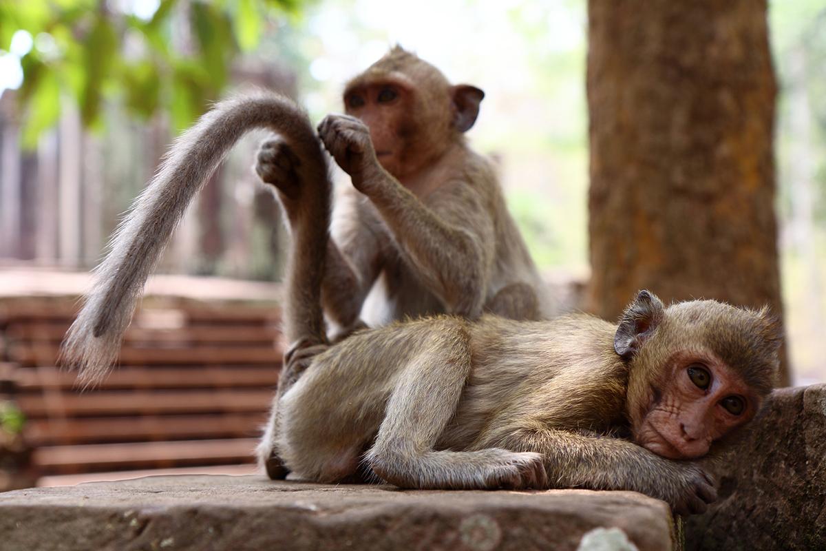 Мавпи в Камбоджі