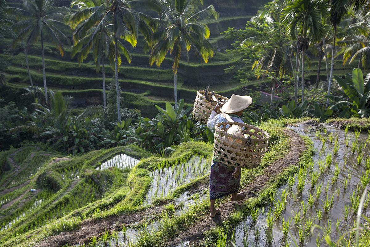 Рисові тераси на околицях Убуд, острів Балі