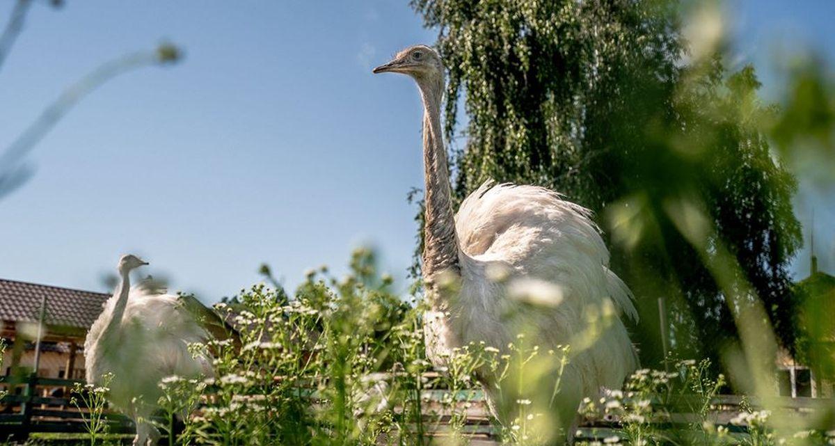 """Ясногородська страусина ферма """"Долина страусів"""""""